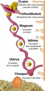 Cycle de formation de l'œuf de la poule
